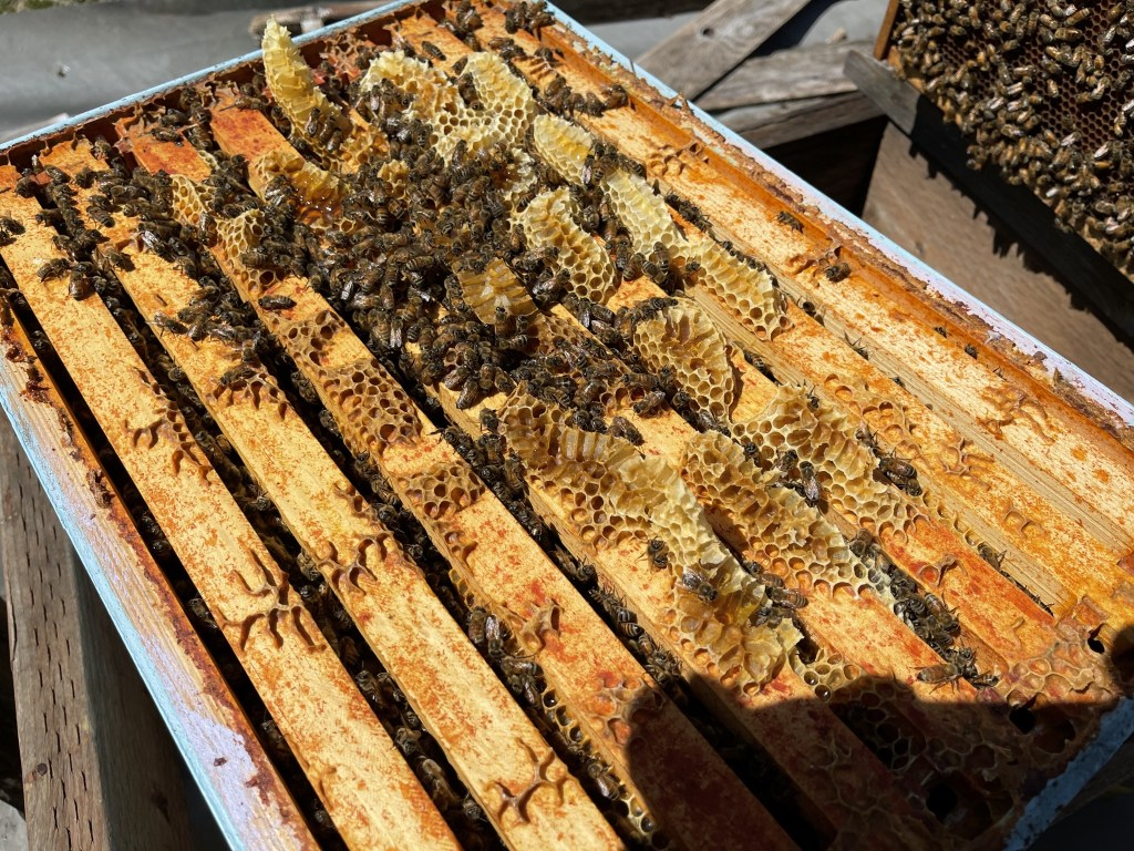 Cedar hive: honey cells above the box