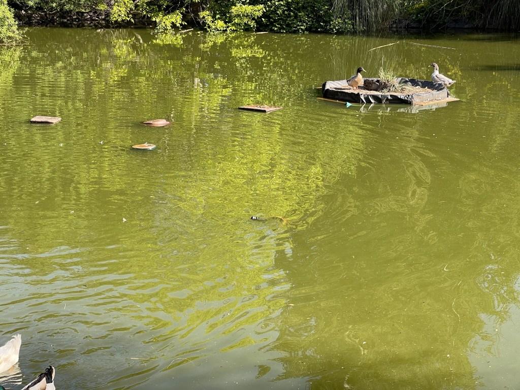Ducks on the floating island