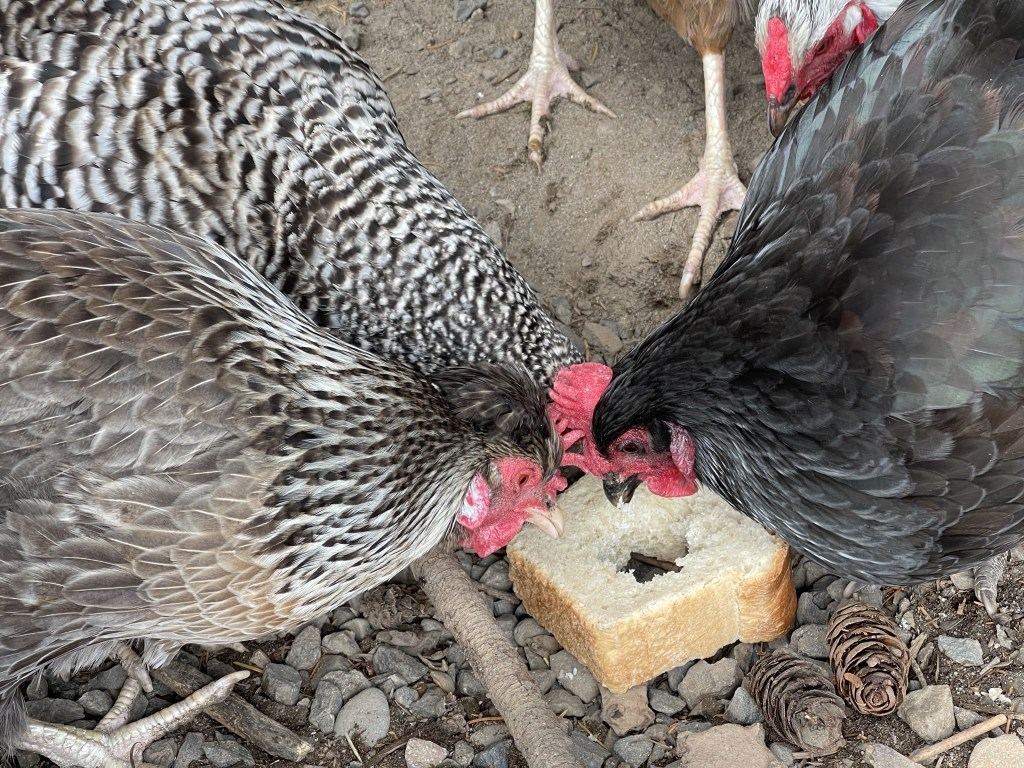 Chickens with treats