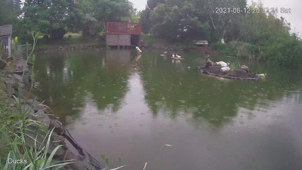 Ducks on island