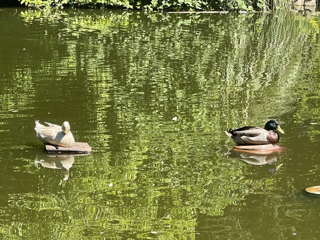 Ducks on pot islands
