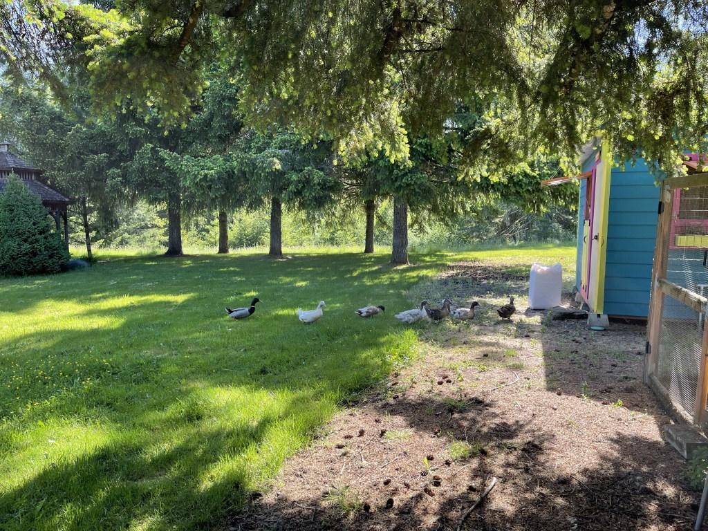 Ducks by chicken coop