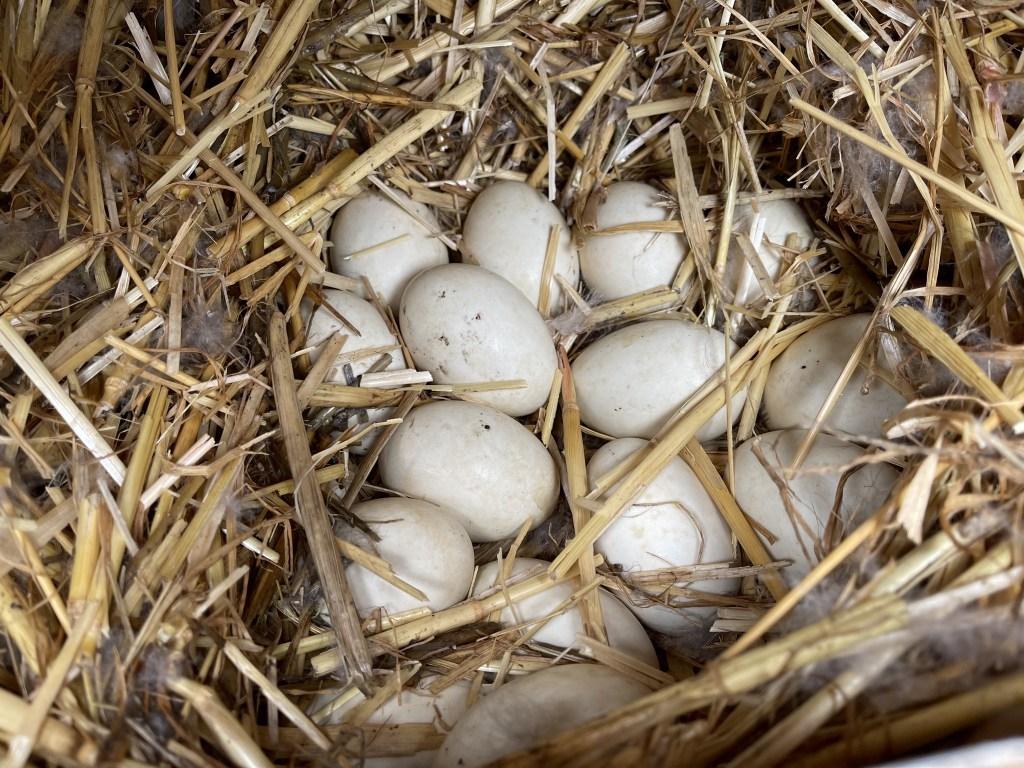 Sonja's eggs