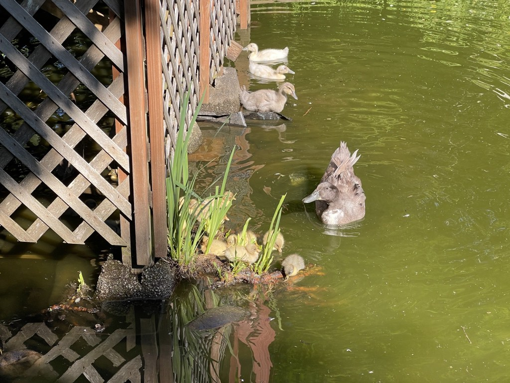 Betty's ducklings; Sonja and ducklings