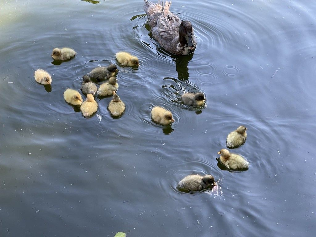 Sonja and ducklings