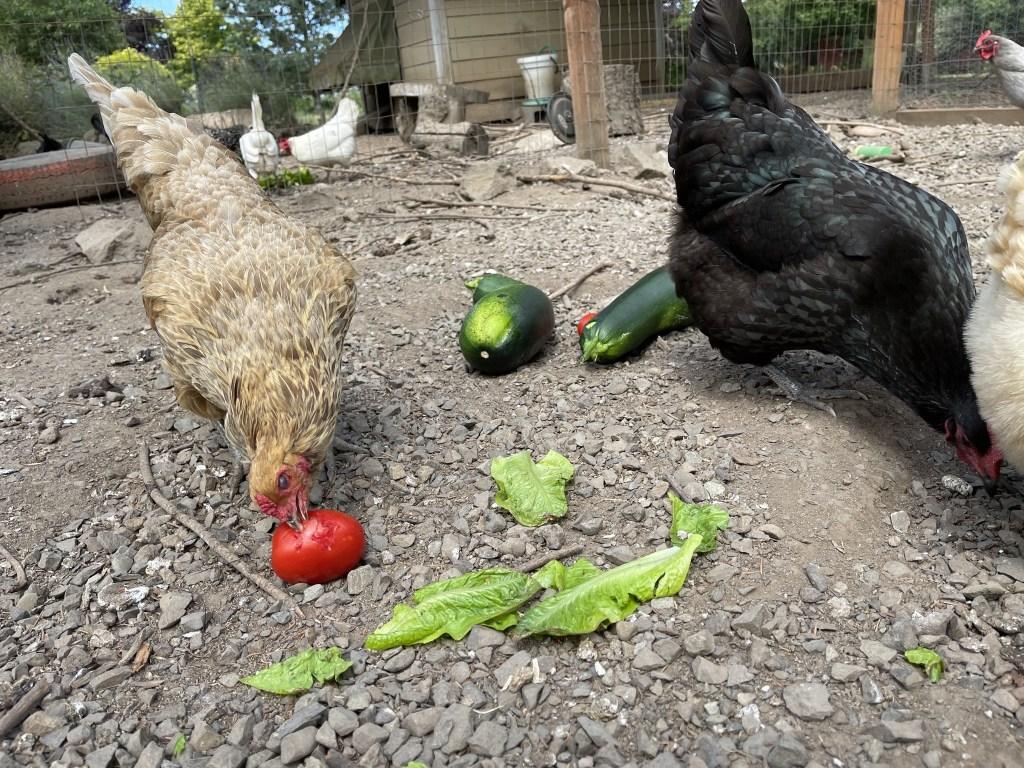 Chickens with tomato, lettuce, zuccini treats