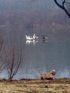 Ducks Walking on Water