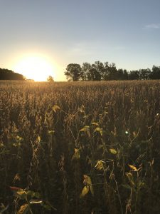 Sunrise over a soybean field ready for harvest.