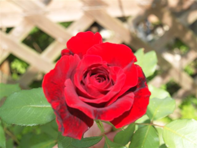 Roses for Elizabeth - A Tribute to Darleen Nordine  (4/6)