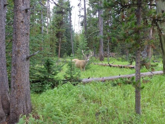 Mule deer buck in trees