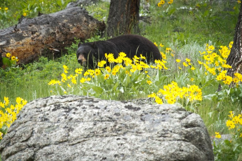 what to see in Yellowstone bear