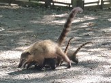 A very large family of Coatis crossed our path