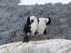 In some places there were Cormorants nesting alongside the penguins, where the rock would have been exposed earliest in the Spring