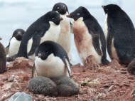 They also had chicks, a little older than the Gentoo