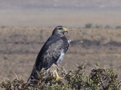 A Black Chested Eagle at the side of the road