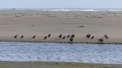 Cormorants on the coast