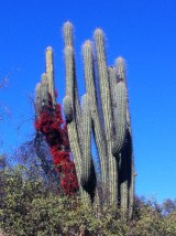This flowers are a parasite rather than the cacti flower