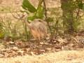 A closer look at a Rhea chick