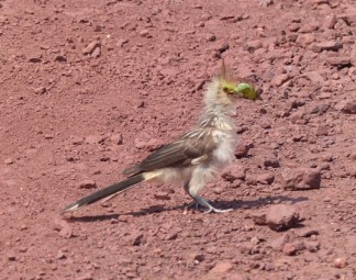 Young Guira Cuckoo proud of a big catch
