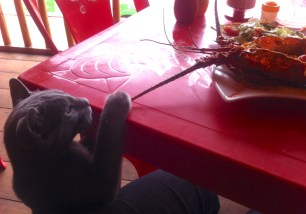 This cat in Mancora likes lobster antennae