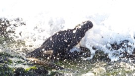 A Marine Iguana catching a wave
