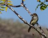 A female flycatcher