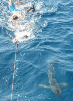 It seems it is an initiation rite for any new members of the crew to jump in with the sharks - later we hung out with them under the boat for our afternoon dive