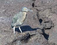 A Lava Heron