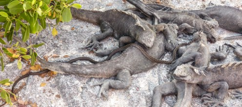 A snake weaves a way over and through the iguanas