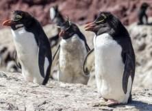 Becca's favourite - the funky Rockhopper Penguin