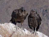 A pair of juvenile Andean Condors at the Mirador del Condor, Colca Canyon, Peru