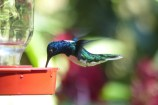 ...and a White-necked Jacobin...