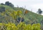 A Yellow-backed Oriole (and a Blue-gray Tanager?)