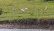 Some Spoonbills