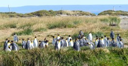 A colony of King Penguins in Tierra del Fuego