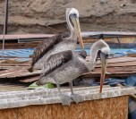 Peruvian Pelicans are found all along the coast