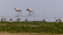 Flamingos on the shoreline of Southern Peru near Paracas