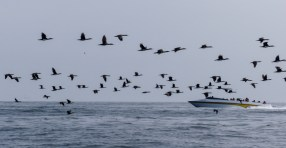 Thick flocks of cormorants