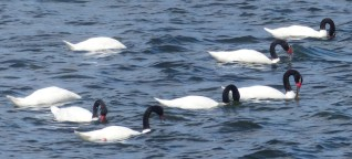Black-necked Swans in the Chilean fjords in the south of Patagonia