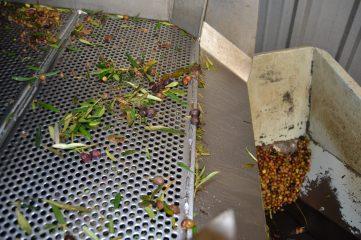 Limpieza de la oliva