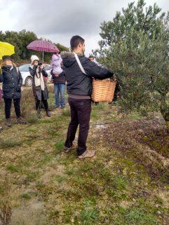 Ordeño manual de las olivas