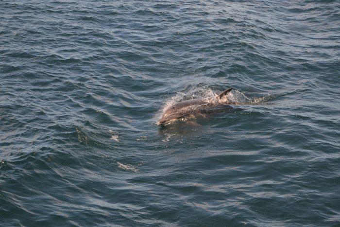 Delfín en la Ria de Arousa