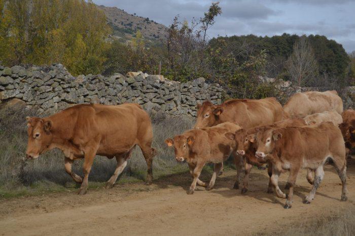 Vacas en el camino