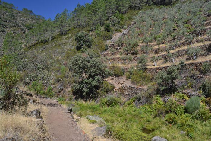 Camino entre bancales de olivos y pinos