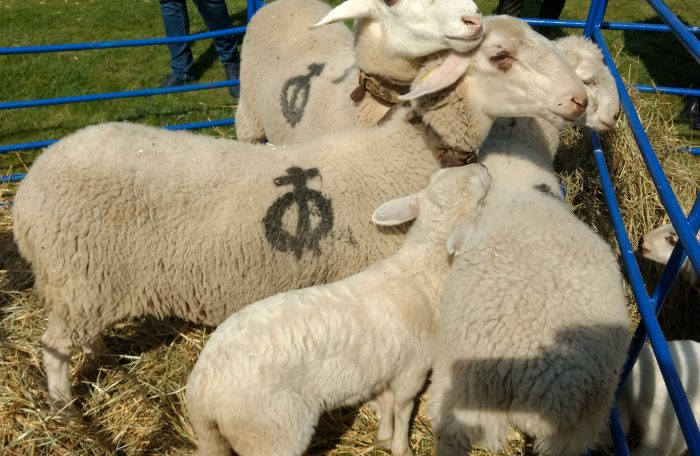 Ovejas y corderos de raza rasa navarra