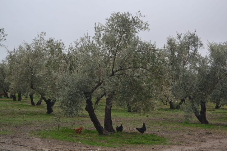 Olivos del Cortijo Spiritu_Santo