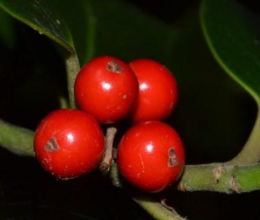 Fruto del acebo o gorosti