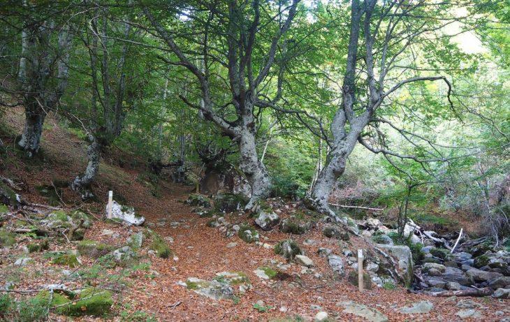 Hayedo junto al arroyo San Miguel