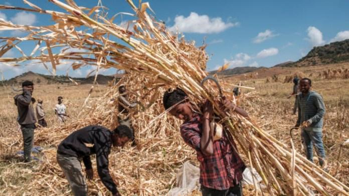 Afrika'da açlık: Geleneksel ürünler sorunu sınırlandırabilir