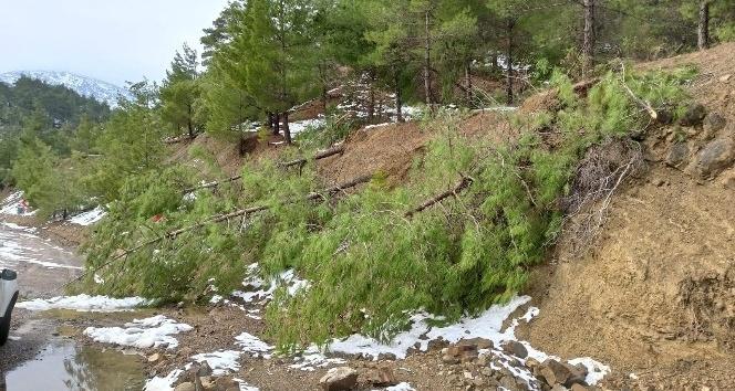Pazarcık 'ta Kar çam ağaçlarını kökünden söktü